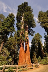 sequoia-Aug 25